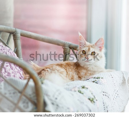 Fluffy maine coon cat laying on a decorative home bench in daylight - stock photo