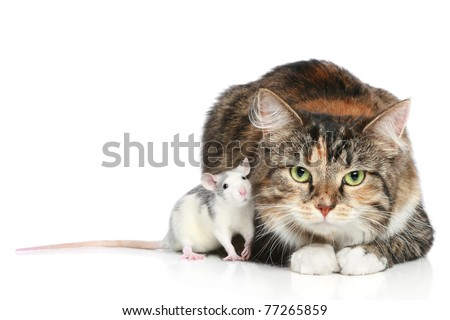 Fluffy mixed-breed cat and dambo rat on a white background - stock photo