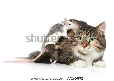 Fluffy mixed-breed cat and dambo rats resting on a white background - stock photo