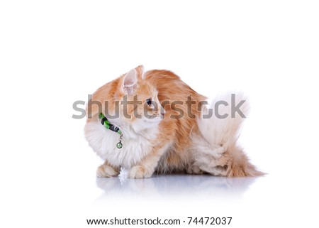 Fluffy mixed breed cat sits isolated on white. White chest and big tail looks very nice. - stock photo