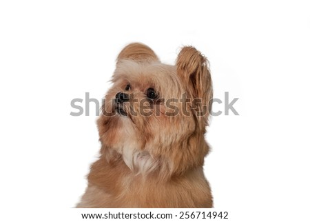 fluffy mixed breed dog looking up waiting for treat - stock photo