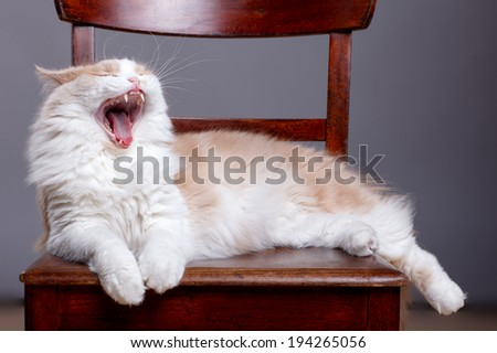 Fluffy mixedbred cat on grey background
