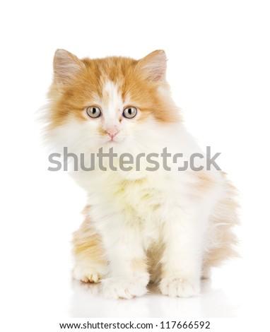 fluffy orange beautiful kitten. isolated on white background - stock photo