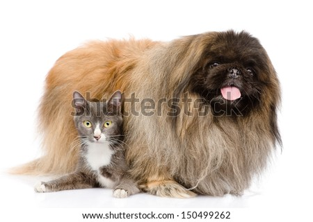 Fluffy Pekingese and cat together. isolated on white background