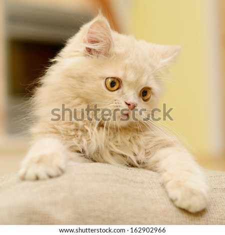 fluffy Persian kitten playing in the room