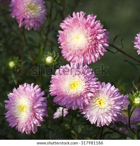 Fluffy pink asters on the field. Selective focus - stock photo