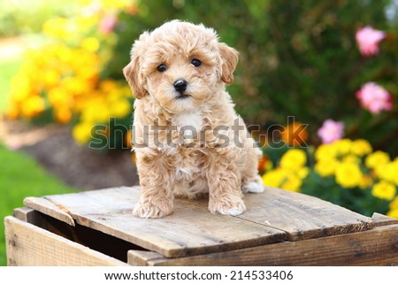 Fluffy Poodle mix puppy sits on an rustic wooden crate in front of some bright flowers - stock photo