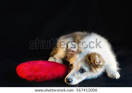 Fluffy puppy lying next to a pillow in the shape of  heart on  black background.