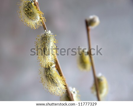 fluffy pussy-willow blossomed out in spring on Easter Day - stock photo