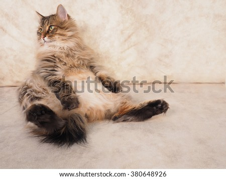 Fluffy red cat is sitting very funny. - stock photo