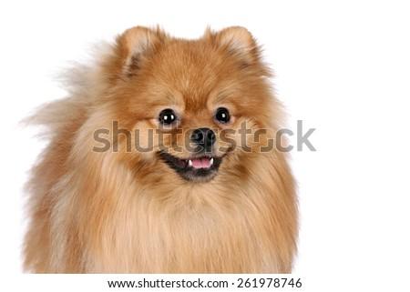 Fluffy red dog on a white background. Pomeranian, portrait - stock photo