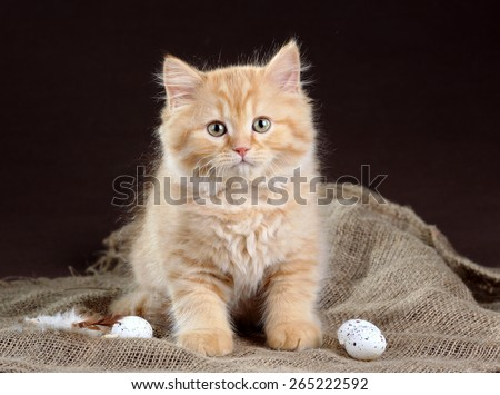Fluffy red kitten sitting on a fabric lay beside the little bird eggs - stock photo