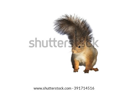 fluffy red squirrel isolated on white background - stock photo