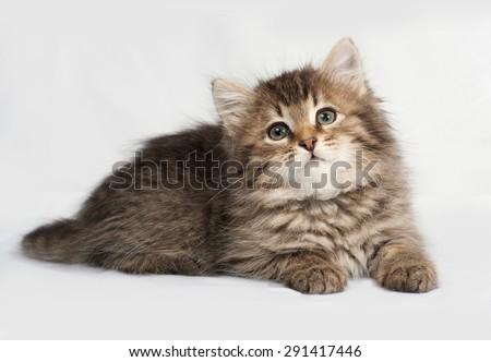 Fluffy Siberian striped kitten lies on gray background - stock photo