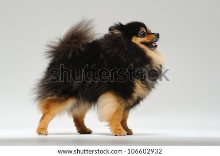 Fluffy spitz standing on a gray background - stock photo