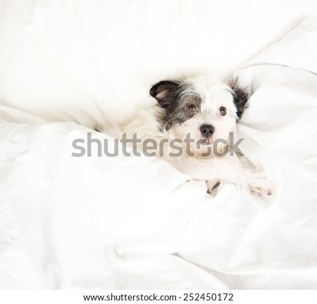 Fluffy White and Black Dog Sleeping in Human  Bed  - stock photo