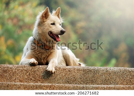 Fluffy White Dog - stock photo