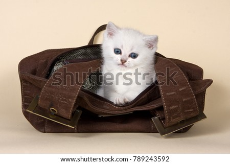 Fluffy white kitten british in a bag on a beige background
