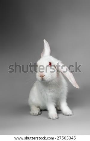 Fluffy white rabbit over grey background - stock photo