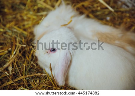 Fluffy white rabbit with blue eyes sits in hay - stock photo