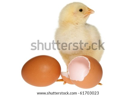 Fluffy yellow baby chicken calling and standing next to an egg