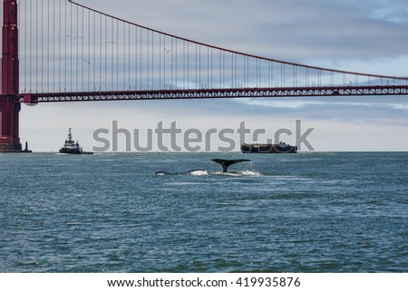 Fluke of Mother Gray Whale, eschrichtius robustus, a critically endangered species, and baby swimming in San Francisco Bay by the Golden Gate bridge, an unusual occurrence