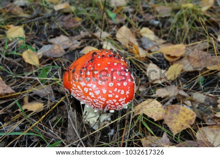Fly agaric (Amanita muscaria) in the October forest