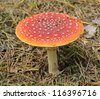 Fly Agaric Fungi (Amanita muscaria) amongst fallen Autumn Leaves - stock photo