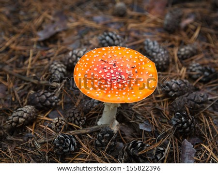 Fly agaric in autumn forest