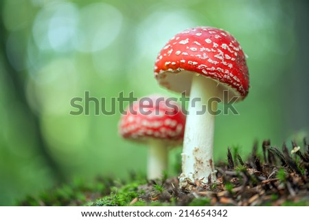 fly-agaric in forest close up