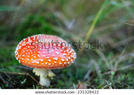Fly agaric mushroom  - stock photo