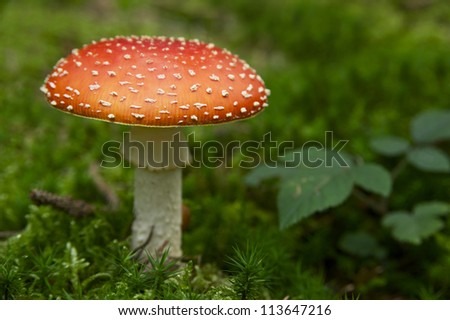 fly agaric mushroom in green moss,Germany