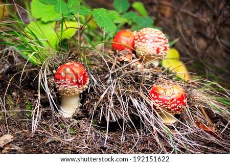 Fly amanita mushroom in the forest - stock photo