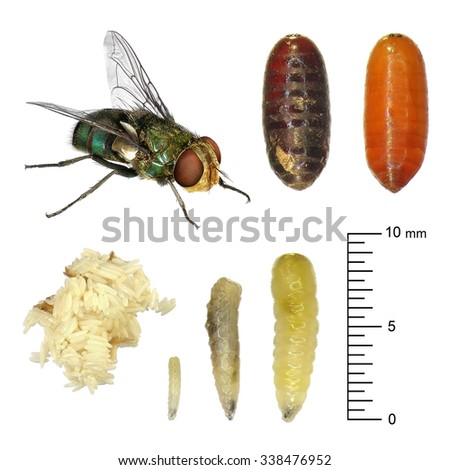 Fly development stages (eggs, larva, imago). Isolated on the white background - stock photo