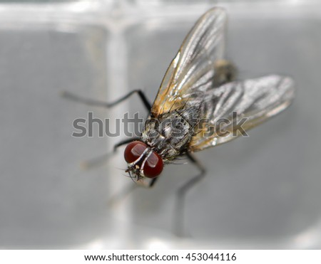 fly Drosophila