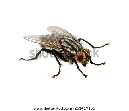 fly isolated on a white - stock photo