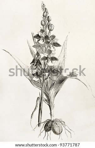 Fly orchid old illustration (Ophrys insectifera). Created by Faguet after Lejean, published on Le Tour du Monde, Paris, 1867 - stock photo
