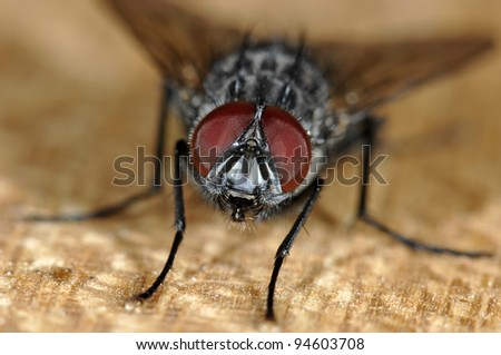 Fly portrait with big eyes - stock photo