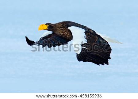 Flying beautiful eagle. Steller's sea eagle, Haliaeetus pelagicus, flying bird of prey, with blue sky in background, Hokkaido, Japan. Eagle with nature mountain habitat. Winter scene with snow. - stock photo
