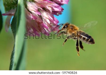 Flying bee - stock photo