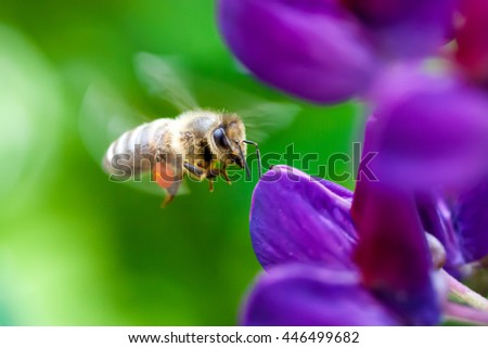 Flying bee approaching a lupine