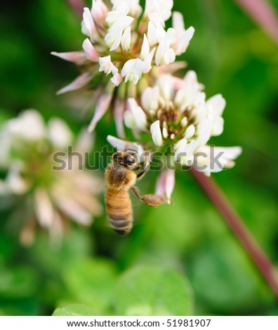flying bee white flower on green grass background - stock photo