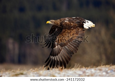 Flying big birds of prey White-tailed Eagle above meadow with open wings - stock photo