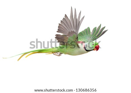 Flying big green ringed or Alexandrine parakeet (Psittacula eupatria) male, on the white background - stock photo
