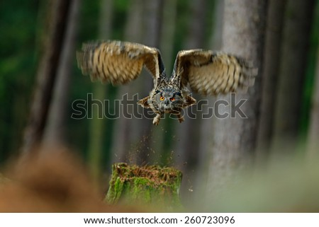 Flying bird Eurasian Eagle Owl with open wings in forest habitat with trees - stock photo