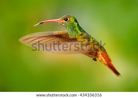 Flying bird, hummingbird Rufous-tailed Hummingbird. Hummingbird with clear green background in Ecuador. Hummingbird in the nature habitat. Bird flying next to beautiful yellow flower in tropic forest. - stock photo