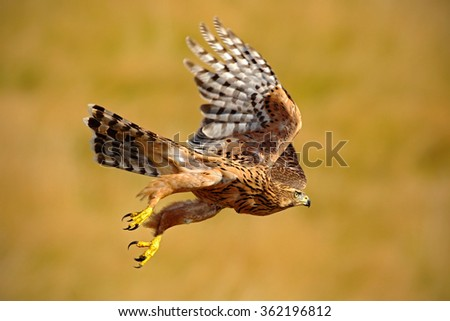 Flying bird of prey Goshawk, Accipiter gentilis, with yellow summer meadow in the background, bird in the nature habitat, action scene, Sweden - stock photo