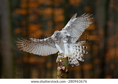 Flying bird of prey Goshawk with blurred orange autumn tree forest in the background, landing on tree trunk - stock photo