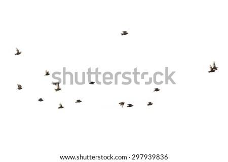 Flying birds starlings - stock photo