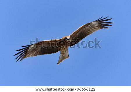 Flying Black Kite. Photograph was taken in Enoshima in Japan.